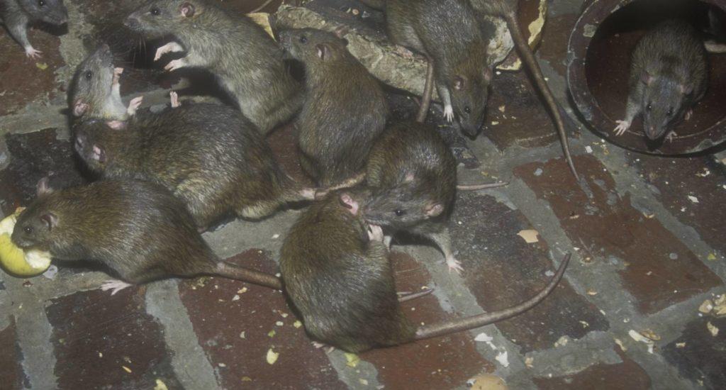 уничтожение крыс в Балтийске